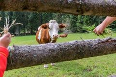 Vaca en un prado en Austria Imagen de archivo libre de regalías