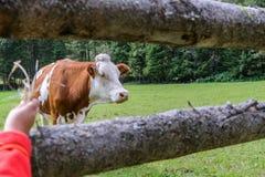 Vaca en un prado en Austria Foto de archivo libre de regalías