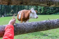 Vaca en un prado en Austria Fotos de archivo