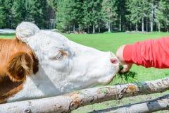 Vaca en un prado en Austria Imágenes de archivo libres de regalías