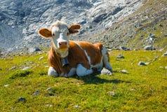 Vaca en un prado de la montaña Foto de archivo