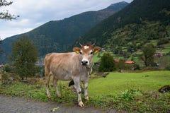 Vaca en un pueblo de montaña imagenes de archivo