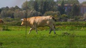 Vaca en una granja almacen de metraje de vídeo