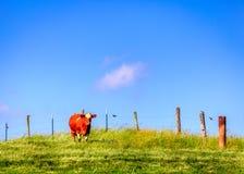 Vaca en una granja Imágenes de archivo libres de regalías