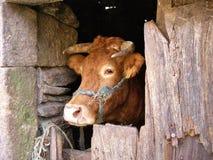Vaca en una vertiente imagenes de archivo