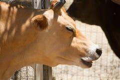 Vaca en verano Foto de archivo