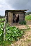 Vaca en vertiente vieja de la puerta. Foto de archivo