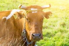 a vaca encontra-se na grama no campo, gado, sob o sol quente fotografia de stock