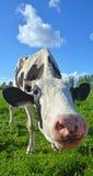 Vaca engraçada Foto de Stock