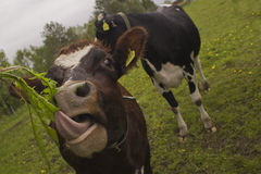 Vaca engraçada que cola a língua para fora Fotos de Stock Royalty Free