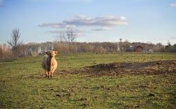 Vaca escocesa das montanhas Imagem de Stock