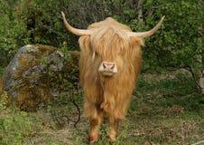 Vaca escocesa das montanhas Imagens de Stock
