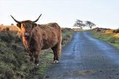 Vaca escocesa das montanhas em uma pista do país no charneca fotos de stock royalty free