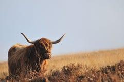 Vaca escocesa das montanhas que vive no charneca que olha quase tristonho foto de stock