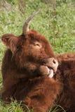 Vaca escocesa de la montaña Foto de archivo libre de regalías