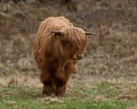 Vaca escocesa de la montaña Fotos de archivo libres de regalías