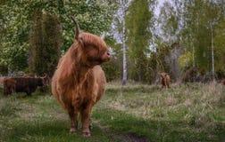Vaca escocesa de la montaña Fotos de archivo