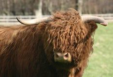 Vaca escocesa de la montaña en campo Fotos de archivo