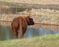 Vaca escocesa de la montaña en Suecia Imágenes de archivo libres de regalías
