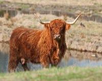 Vaca escocesa de la montaña en Suecia en sol Imagenes de archivo