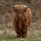 Vaca escocesa de la montaña que lame su boca Foto de archivo