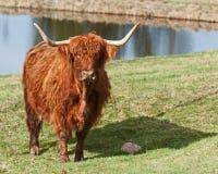 Vaca escocesa de la montaña que mira curiosamente en el sol Foto de archivo libre de regalías