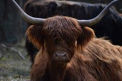 Vaca escocesa do escocês no naturepark o hoge Veluwe Imagem de Stock