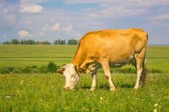 A vaca está comendo a grama fotografia de stock