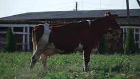 A vaca está pastando na exploração agrícola video estoque
