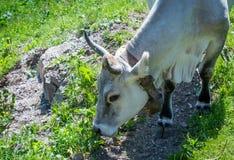A vaca está pastando nas montanhas Imagem de Stock