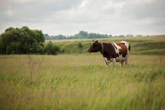 A vaca está pastando no prado Imagens de Stock