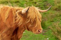 A vaca famosa Escócia de Highlnd fotos de stock royalty free