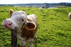 Vaca feliz Fotos de archivo libres de regalías