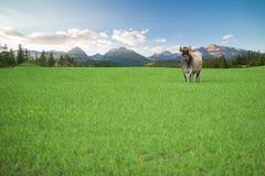 Vaca feliz Foto de Stock Royalty Free