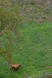 Vaca feliz Fotografia de Stock