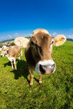 Vaca, fim engraçado do nariz do fisheye acima Imagens de Stock
