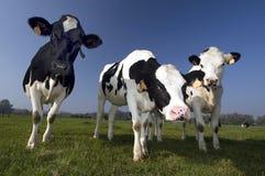 Vaca flamenga no campo Fotografia de Stock Royalty Free