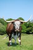 Vaca, fonolocalizador de bocinas grandes raro del inglés de la casta. Fotografía de archivo libre de regalías