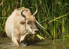 Vaca gambiana que come las plantas de lámina imágenes de archivo libres de regalías