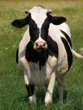 Vaca grande en el campo imágenes de archivo libres de regalías