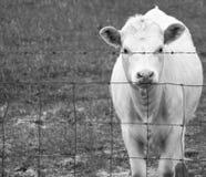 Vaca hambrienta por la tarde Fotografía de archivo