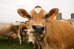 Vaca hecha frente divertida Fotos de archivo