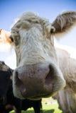 Vaca hecha frente melenuda en un campo Imagen de archivo libre de regalías