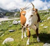 Vaca hermosa Foto de archivo