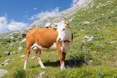 Vaca hermosa Fotos de archivo