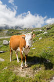 Vaca hermosa Imagenes de archivo