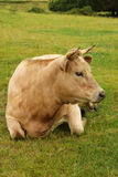 Vaca hermosa de Charolais Imágenes de archivo libres de regalías