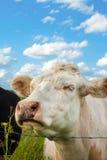 Vaca hermosa en la hierba Foto de archivo libre de regalías