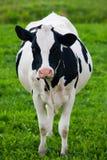Vaca holandesa Imagem de Stock Royalty Free
