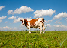 Vaca holandesa Imagenes de archivo